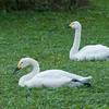 Bewick's Swan, Cygnus columbianus 8972