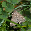 Straw-barred Pearl, Pyrausta despicata 8594