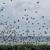 murmuration of Starlings, Sturnus vulgaris 8756
