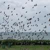 murmuration of Starlings, Sturnus vulgaris 8758
