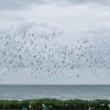murmuration of Starlings, Sturnus vulgaris 8771