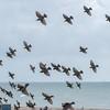 murmuration of Starlings, Sturnus vulgaris 8760