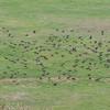 murmuration of Starlings, Sturnus vulgaris 8745