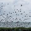 murmuration of Starlings, Sturnus vulgaris 8755