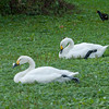 Bewick's Swan, Cygnus columbianus 8974