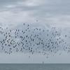 murmuration of Starlings, Sturnus vulgaris 8772