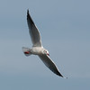 Black-headed Gull, Chroicocephalus ridibundus 4539