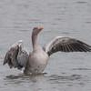 Greylag Goose, Anser anser 4767
