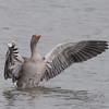 Greylag Goose, Anser anser 4772