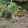 Weasel, Mustela nivalis 4718