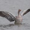 Greylag Goose, Anser anser 4773