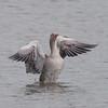 Greylag Goose, Anser anser 4770