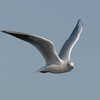 Black-headed Gull, Chroicocephalus ridibundus 4537