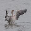 Greylag Goose, Anser anser 4771