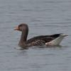 Greylag Goose, Anser anser 9570