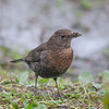 Blackbird, female, Turdus merula 5728