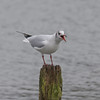 Black-headed Gull, Chroicocephalus ridibundus 5674