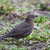 Blackbird, female, Turdus merula 5700
