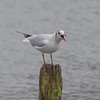 Black-headed Gull, Chroicocephalus ridibundus 5673