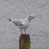 Black-headed Gull, Chroicocephalus ridibundus 5666
