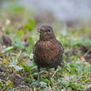 Blackbird, female, Turdus merula 5734