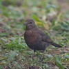 Blackbird, female, Turdus merula 5699