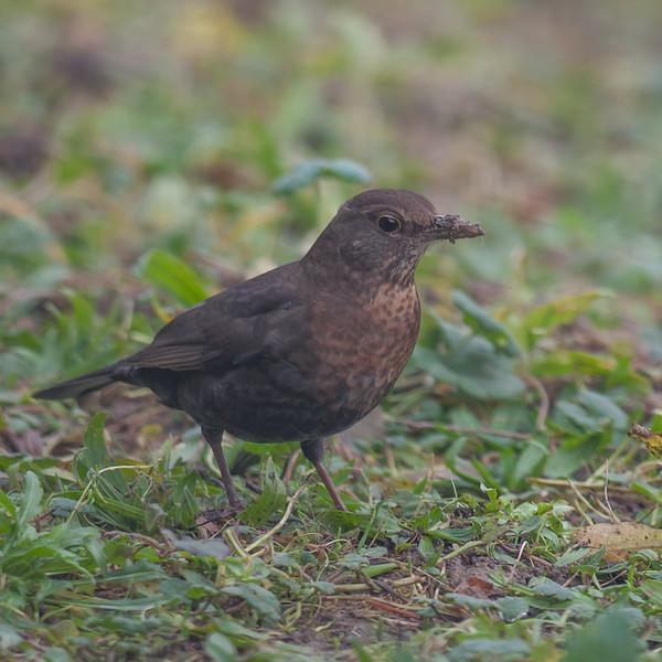 Blackbird, female, Turdus merula 5695