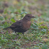 Blackbird, female, Turdus merula 5695