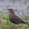 Blackbird, female, Turdus merula 5733