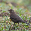 Blackbird, female, Turdus merula 5735