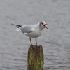Black-headed Gull, Chroicocephalus ridibundus 5672