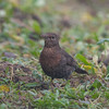 Blackbird, female, Turdus merula 5693