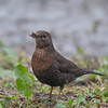Blackbird, female, Turdus merula 5730