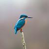 Kingfisher, Alcedo atthis 5681
