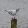 Black-headed Gull, Chroicocephalus ridibundus 5665