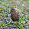 Blackbird, female, Turdus merula 5704
