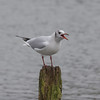 Black-headed Gull, Chroicocephalus ridibundus 5671