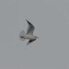 Black-headed Gull, Chroicocephalus ridibundus 5649