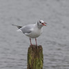 Black-headed Gull, Chroicocephalus ridibundus 5670