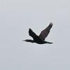 Cormorant, Phalacrocorax carbo 5068