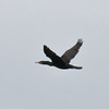 Cormorant, Phalacrocorax carbo 5069
