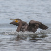 Cormorant, Phalacrocorax carbo 5025