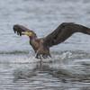 Cormorant, Phalacrocorax carbo 5023