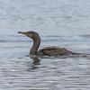Cormorant, Phalacrocorax carbo 5028