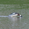Red-breasted Merganser, Mergus serrator 2839