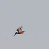 Kingfisher hovering, Alcedo atthis 3605