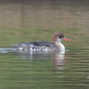 Red-breasted Merganser, Mergus serrator 2891