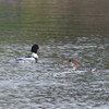 Red-breasted Merganser, Mergus serrator 2862