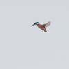 Kingfisher hovering, Alcedo atthis 3603