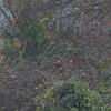 Bullfinch, Pyrrhula pyrrhula 3142